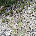 Galeopsis angustifolia Saut du Cerf Liverdun.jpg