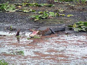 Paynes Prairie Preserve State Park - Image: Gator Paynes Prairie 2