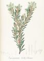 Gaylussacia ledifolia Pohl123.png