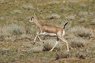 Goitered gazelle - Image: Gazella subgutturosa