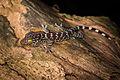 Gekko gecko, Tokay gecko (juvenile) - Kaeng Krachan National Park (23892461171).jpg