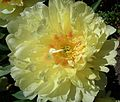 Gelbe Blüte Pfingstrose.JPG