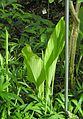 Gelbwurzel (Curcuma longa).jpg