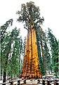 General Sherman Tree Bild 2.jpg