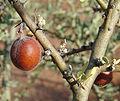 Geoffraea decorticans, fruit. (8434418444).jpg