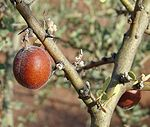Geoffraea decorticans, fruit. (8434418444).jpg