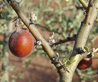 Geoffroea decorticans - Mature fruits.