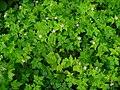 Geranium robertianum 001.JPG