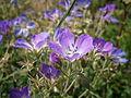 Geranium sylvaticum03.jpg