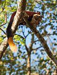 Giant Malabar Squirrel (32410650851).jpg