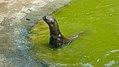 Giant otter (32126268816).jpg