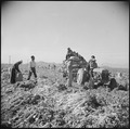 Gila River Relocation Center, Rivers, Arizona. Evacuee farmers are here harvesting Daikon, a large . . . - NARA - 538622.tif