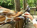 Giraffe being fed at Riverbanks Zoo.JPG