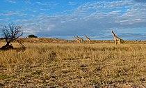 Giraffes (Giraffa camelopardalis) (6516556673).jpg