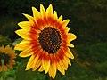 Girasol de fuego - Fire Sunflower (11197262165).jpg