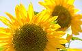 Girasoles (3153141912).jpg