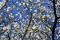 Gladbeck - Freizeitstätte Wittringen - Magnolia 03 ies.jpg