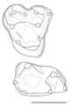 Glasbius molars.png
