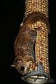 Glaucomys volans peanut feeder.jpg