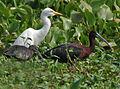 Glossy Ibis (Plegadis falcinellus) & Egret W IMG 3797.jpg