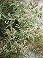 Gnaphalium uliginosum02.jpg