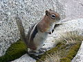 Golden-mantled Ground Squirrel CO.JPG