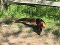 Golden Pheasant (2491744140).jpg