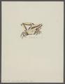 Gonoplax angulata - - Print - Iconographia Zoologica - Special Collections University of Amsterdam - UBAINV0274 094 11 0002.tif
