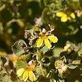Goodenia grandiflora.jpg