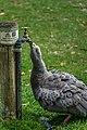 Goose Drinking (107020067).jpeg