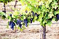 Grapes growing the Redwood Valley of Mendocino.jpg