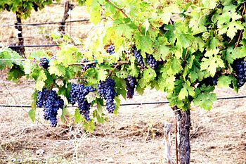Ripe grapes in early September in the Redwood ...