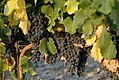 Grapes on the vine (4053714843).jpg