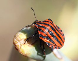 Graphosoma italicum August 2007-2.jpg