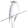 Grauwe vliegenvanger Muscicapa striata Jos Zwarts 2.tif