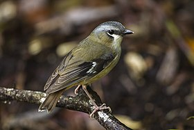 Gray-headed Robin - Cairns - Queensland S4E8463 (22144687730).jpg