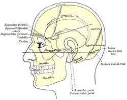 منظر جانبي للرأس، يظهر العلاقات السطحية بين العظام. (العظم الصدغي قريب من الوسط)