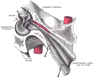 Torus tubarius - Auditory tube, laid open by a cut in its long axis (torus tubarius not labeled)