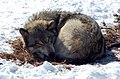Gray Wolf (Canis lupus) (119671562).jpg