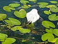 Grazing on water lillies @ Baby swan @ Lake Annecy @ Port de Saint-Jorioz (50487965707).jpg