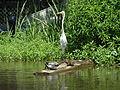 Great Egret (8728797153).jpg