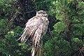 Great Horned Owl Pt Reyes CA 2018-10-02 11-17-32 (44156592265).jpg