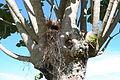 Great Kisakadee Pitangus sulphuratus nest.JPG