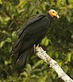 Great Yellow-headed Vulture.jpg