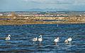 Greater Flamingos, Lido de Thau, Sète 06.jpg