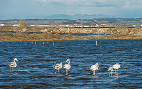 Greater Flamingos, Lido de Thau, Sète 06.jpg