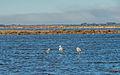 Greater Flamingos, Lido de Thau, Sète 09.jpg