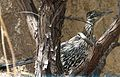 Greater Roadrunner. Geococcyx californianus (1) - Flickr - gailhampshire.jpg