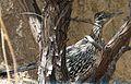 Greater Roadrunner. Geococcyx californianus (1) - Flickr - gailhampshire.jpg