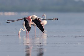 Greater flamingo in flight.jpg
